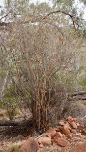 A spear bush.