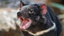 The (Tasmanian) devil incarnate