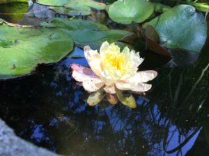 A resident waterlily